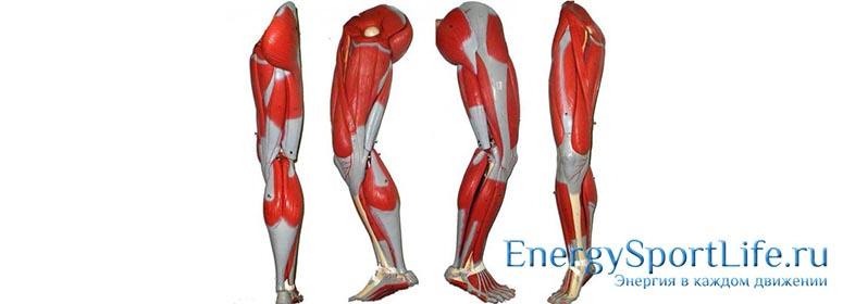 Анатомия мышц ног: строение, функции, упражнения для развития мышц ног