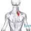 Малая ромбовидная мышца