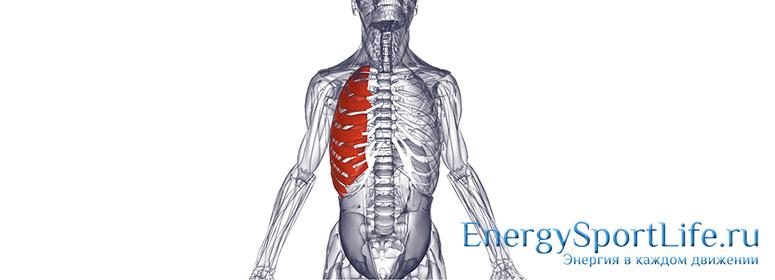 Анатомия грудных мышц: строение, функции, упражнения для развития грудных мышц