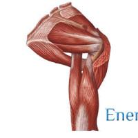 Мышцы плечевого пояса