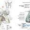 Мышцы плечевого пояса2