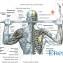 Мышцы плечевого пояса4
