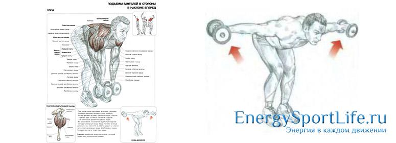Мышцы плечевого пояса: строение, функции, упражнения для развития плечевого пояса