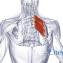 Верхняя задняя зубчатая мышца
