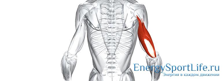 Анатомия мышц рук: строение, функции, упражнения для развития мышц рук