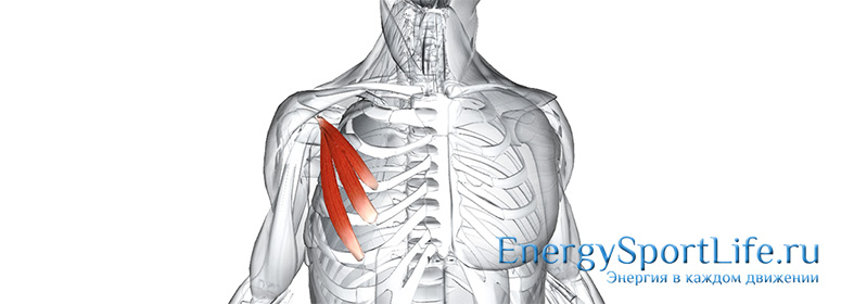 Анатомия мышц туловища: строение, функции, упражнения для развития мышц туловища