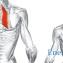Ромбовидные мышцы спины