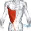 Широчайшие мышцы спины1