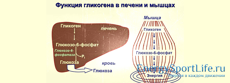 Углеводный обмен в организме человека