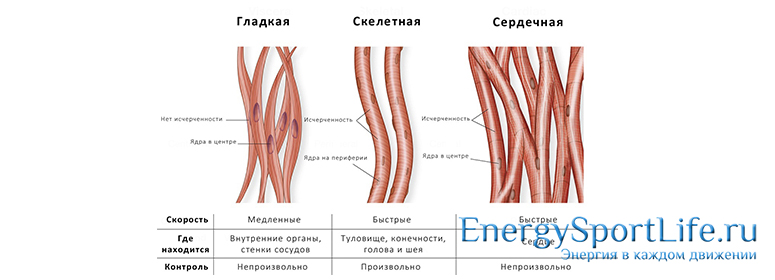 Особенности строения мышечной ткани3