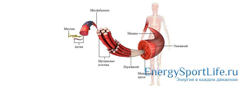 Особенности строения мышечной ткани