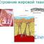 строение жировой ткани